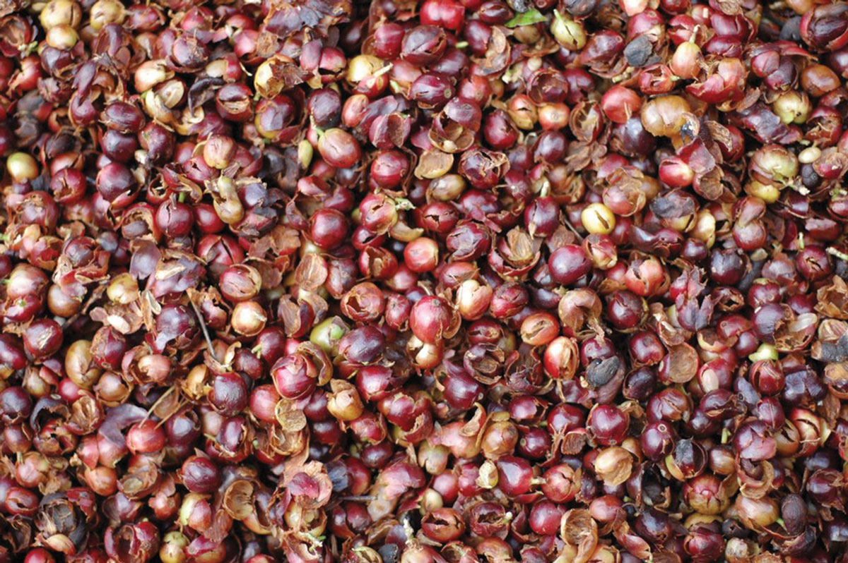 What Is Cascara Fresh Cup Magazine