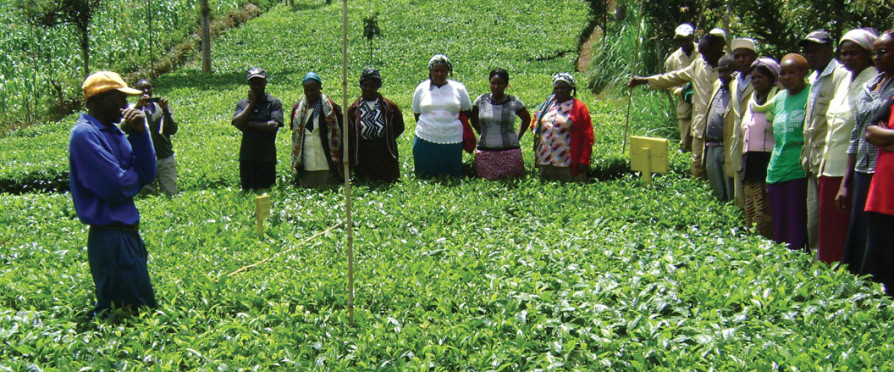 Pulling Tea out of Poverty