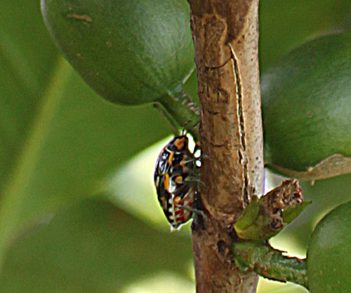 An antestia bug on a coffee plant in Burundi. (Photo courtesy of Counter Culture Coffee.)