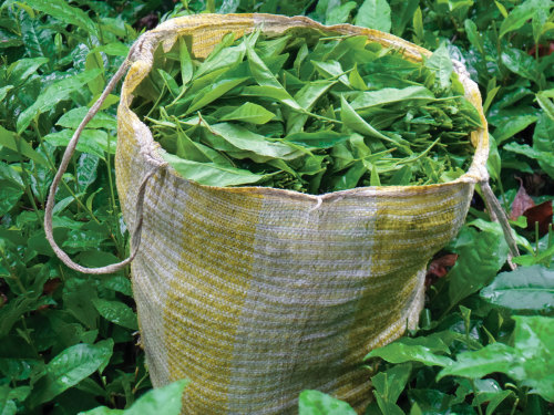 Tea picked at the Chirrepec Cooperative.