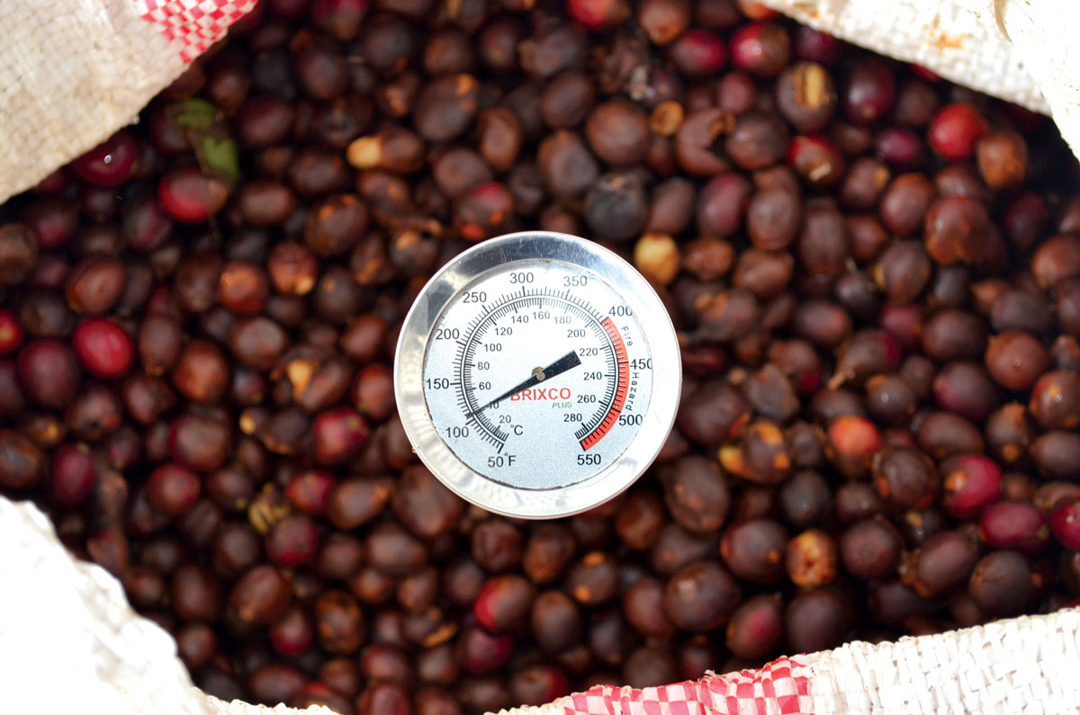 A temperature reading of coffee cherries.