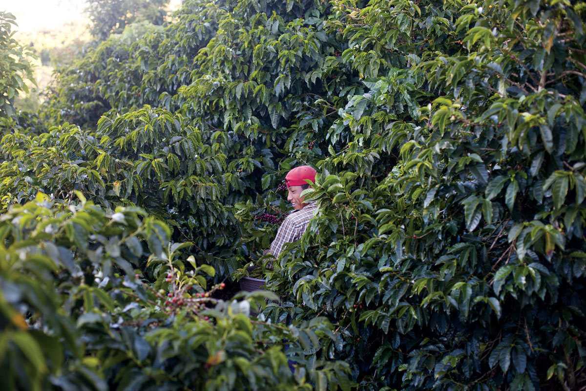 A worker picks coffee at the Monteros' farm in Costa Rica. (Photo: Jamie Netherland/Sound Coffee Collective.)