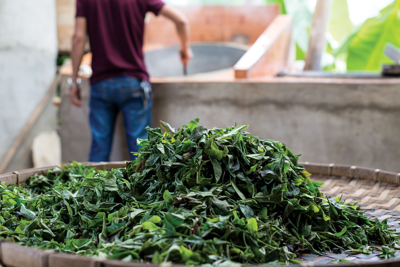 Fresh pu-erh leaves, which come from the assamica varietal of tea, wait to be toasted.