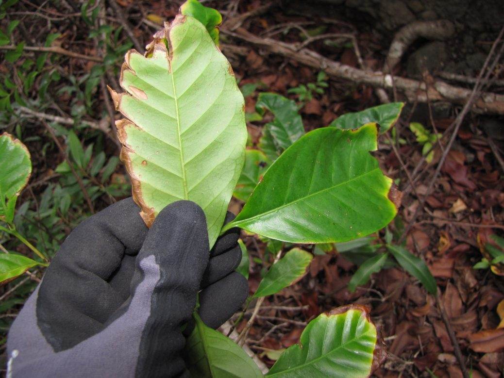 Coffea arabica leaf rust, may be related to global climate change.