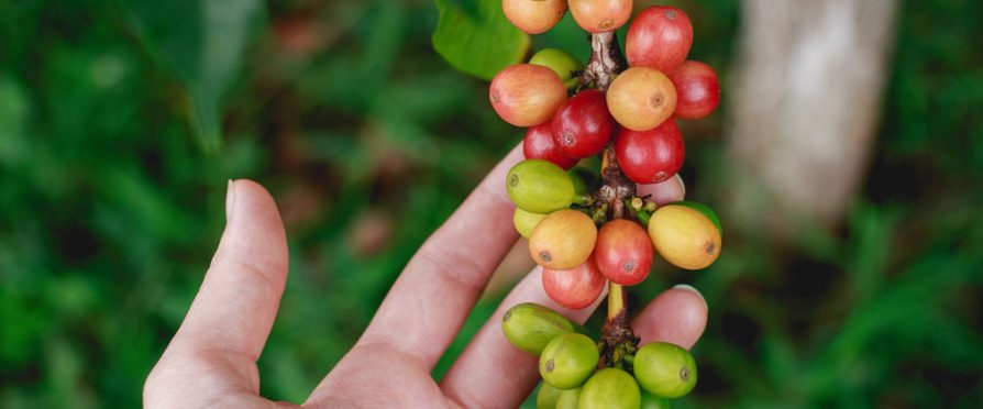 The World's First Open-Access Coffee Genome Sequence