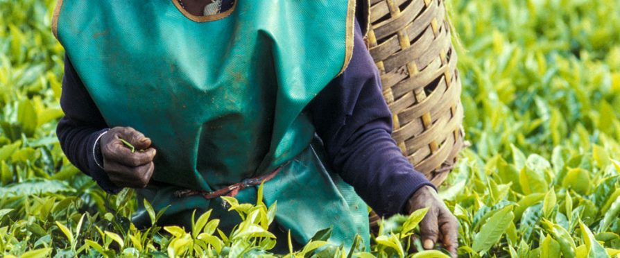Unilever and James Finlay Forced off Kenyan Tea Farming Lands